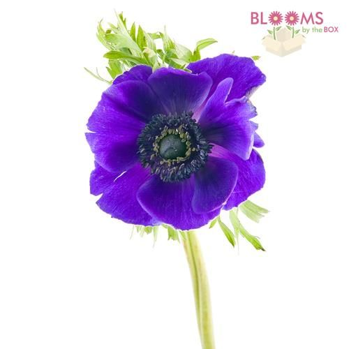 Wholesale Anemone Purple Blooms By The Box Modern Wedding Flowers Purple Wedding Inspiration Anemone Flower