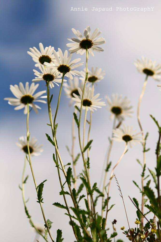 Daisies by Annie Japaud on 500px