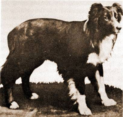 All Border Collies Are Descended From A Dog Named Hemp! - Toke of the Town