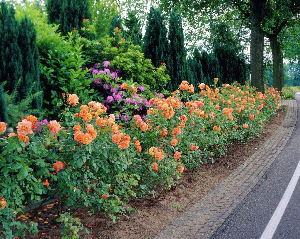 роза вестерланд фото
