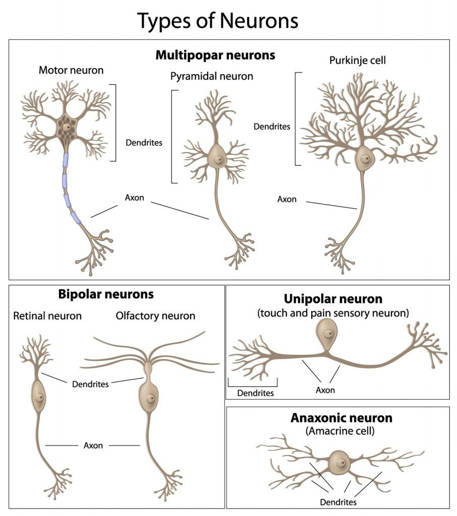 Types of neurons abcn prep pinterest anatomy neuroscience and types of neurons ccuart Choice Image