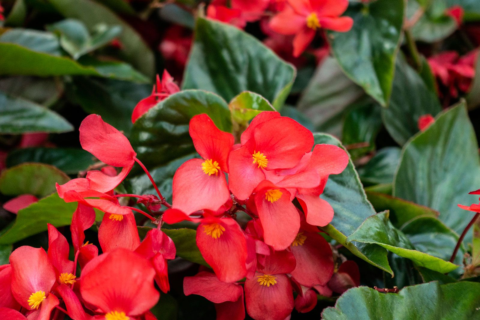 Growing Annual Begonia Plants Information On How To Grow Begonias In 2020 Begonia Red Plants Plants