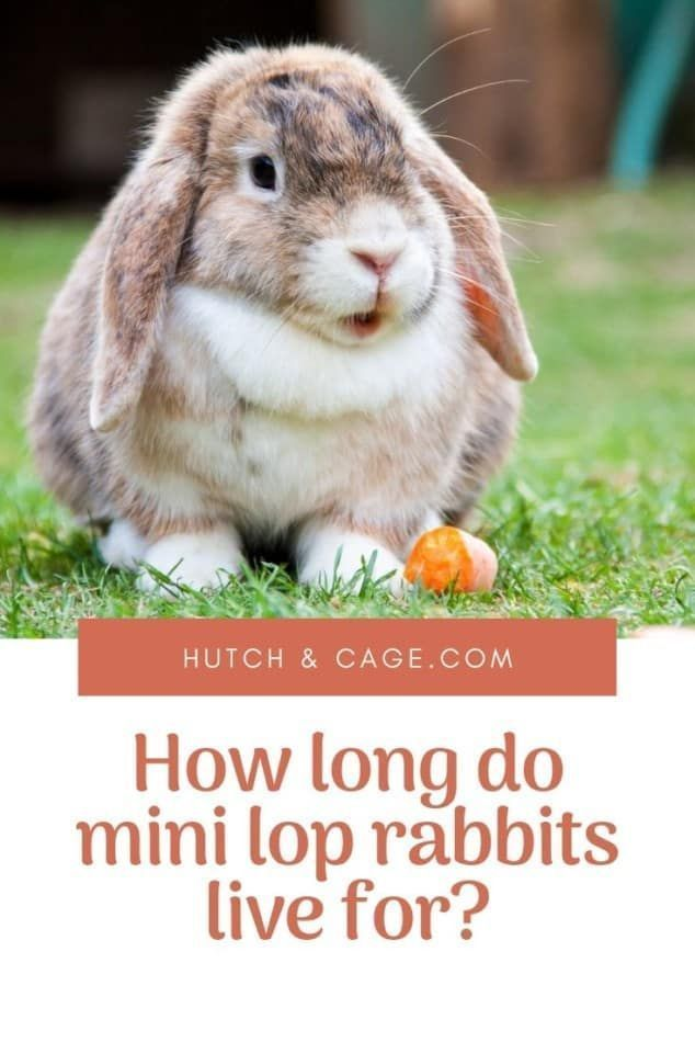 How Long Do Mini Lops Live For? Life Expectancy   Lifespan