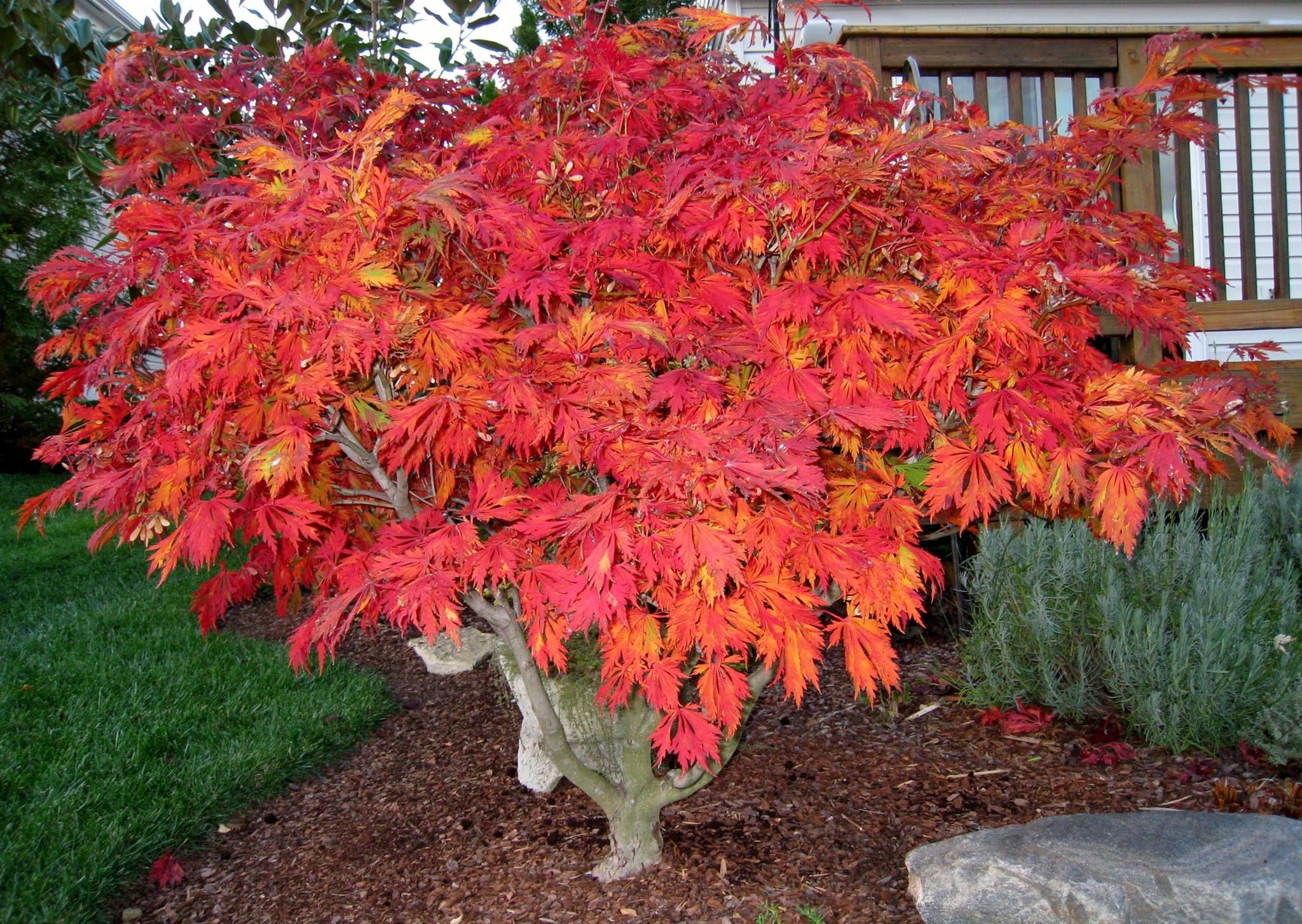 Acer Japonicum Aconitifolium Amazing Structure And Fall Color