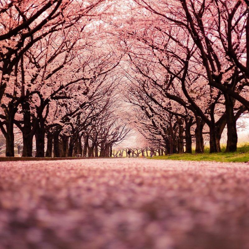 10 Most Popular Cherry Blossom Wallpaper Desktop 1920x1080 Full Hd 1920 1080 For Pc Back Cherry Blossom Wallpaper Cherry Blossom Background Cherry Blossom Tree Cherry blossom wallpapers hd