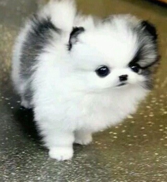So Cute Cute Baby Animals Pomeranian Puppy Cute Puppies