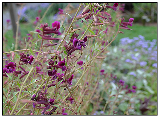 Cuphea Viscosissima - Berkshire Botanical Garden