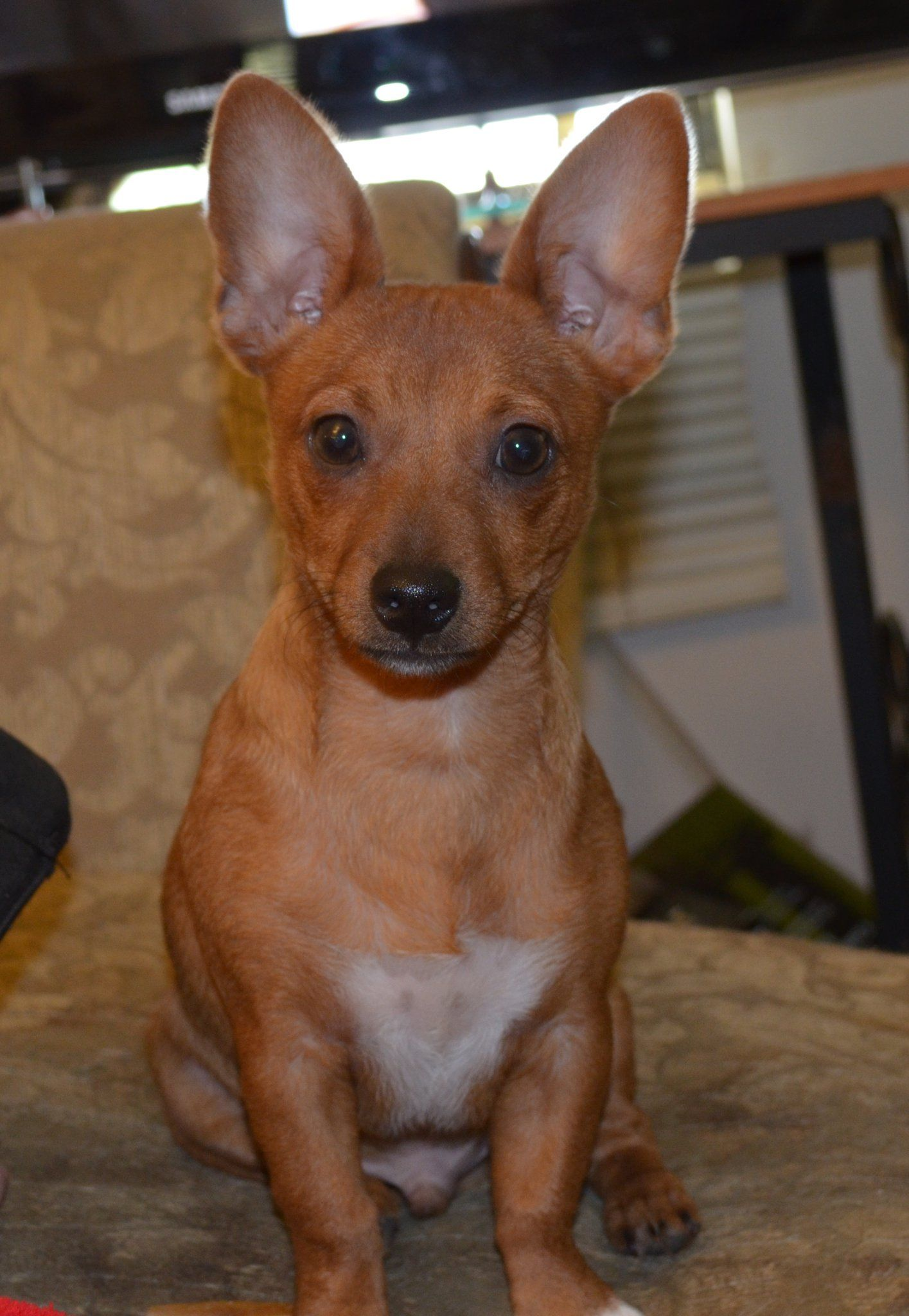 Rat Terrier Chihuahua Mix This Is What Chip Will Look Like