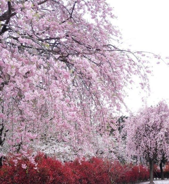 Pin Oleh Anggira Amusita Di Yang Saya Simpan Bunga Sakura Pemandangan Bunga