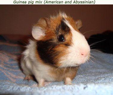 guinea pig breeds mix Guinea Pigs