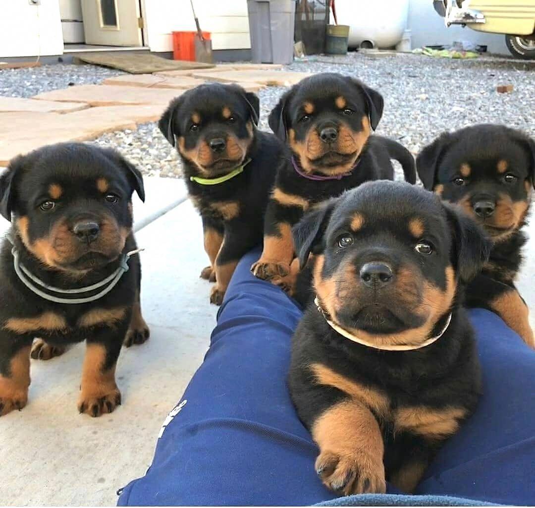 Rottweiler Rottweiler Puppies Rottweiler Dog Beautiful Dogs