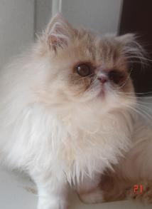 White Cream Colored Persian Cat Google Search Persian Cat Beautiful Kittens Pretty Cats
