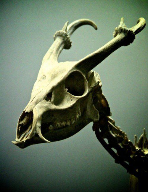 Love muntjacs | Skeletons | Pinterest | Huesos, Anatomía y Calaveras