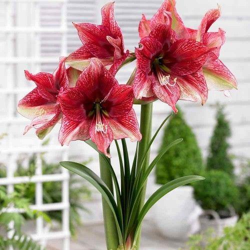 Hippeastrum Amaryllis Tosca Amaryllis Flowers Amaryllis Plant Beautiful Flowers Garden