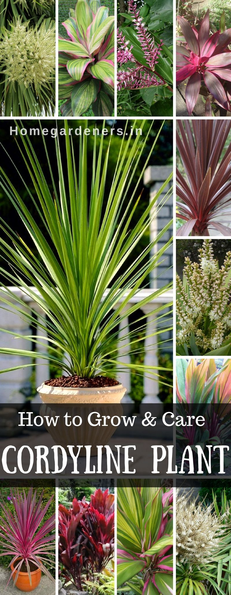 Cordyline growing and caring for the hawaiian ti plant