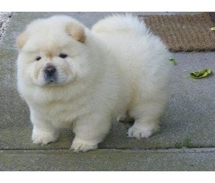 Tiny Micro Crame White Chow Chow Puppies Chow Chow Puppy Chow Puppies For Sale Labrador Puppy