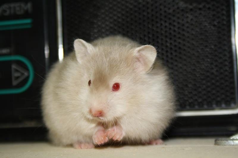 Mink Roan Longhair Satin Syrian Hamster Hamster Pets