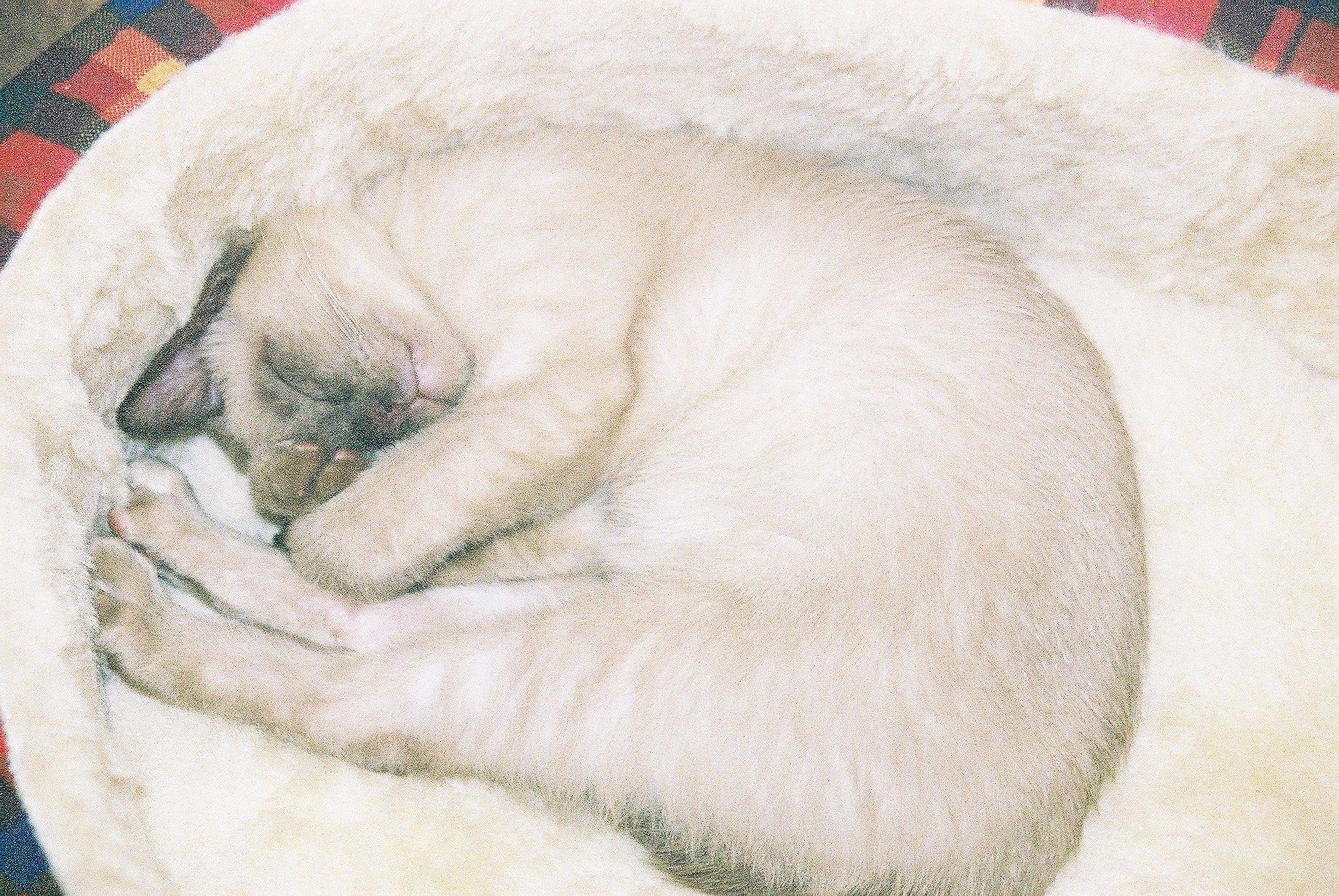 Cobweb My Burmese Cat Burmese Cat Kittens Animals