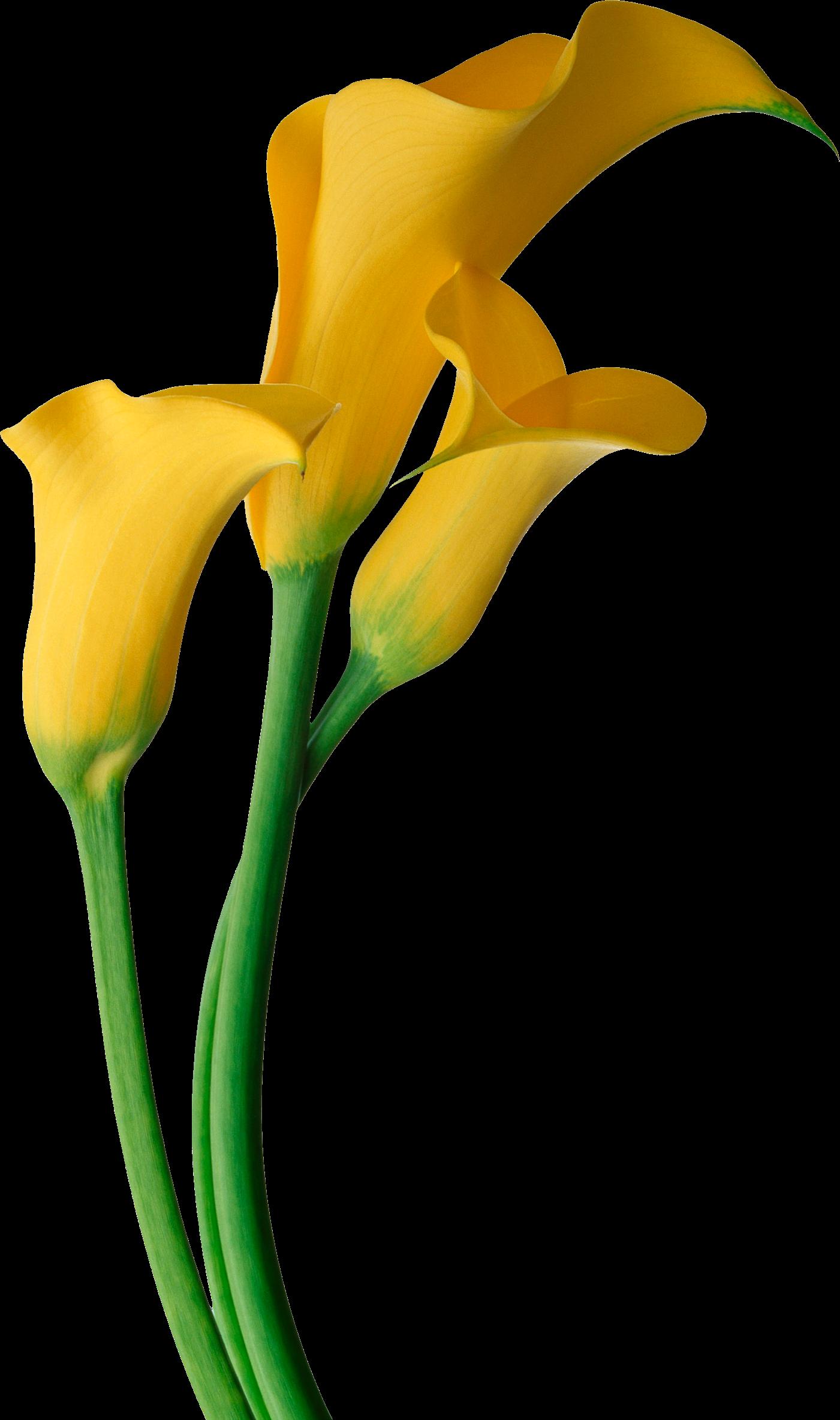 pin by olga uvarova on pinterest confetti rh pinterest com calla lily border clipart free calla lily clipart black and white