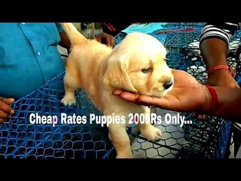 Labrador Retriever Puppies Price In Hyderabad Animals Market For