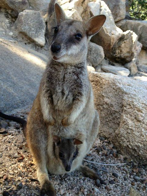 Was tripping around Australia when this proud little mom appeared - Imgur