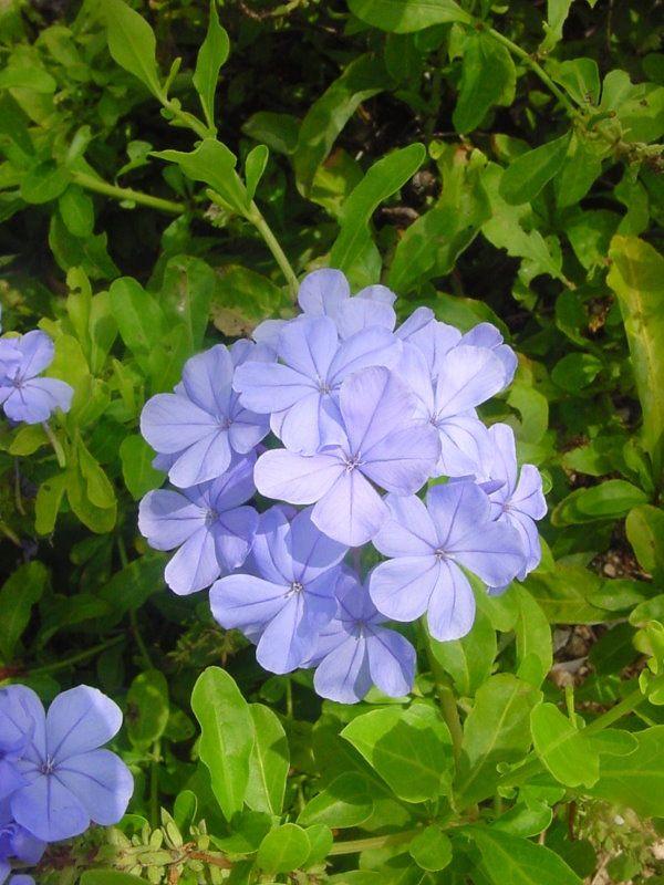 Flor Plumbago Auriculata Arbustos Para Jardin Pinterest