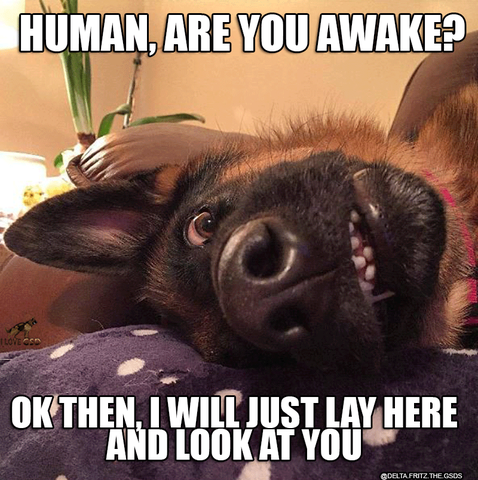 Photo of 33 German Shepherd Memes That Will Make You Laugh Every Time