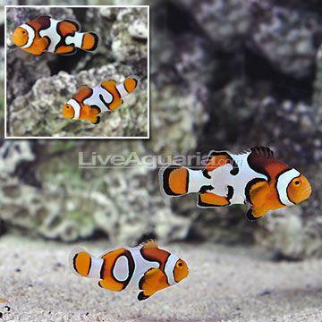 Ora Picasso Percula Clownfish Select Pair Clown Fish Saltwater Fish
