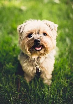 Cheap Puppies For Sale In Iowa Ia Cheap Yorkie Chihuahua Morkie Maltese Poodle Labradoodle Cockapoo In 2020 Cheap Puppies Puppies For Sale Cute Puppy Wallpaper