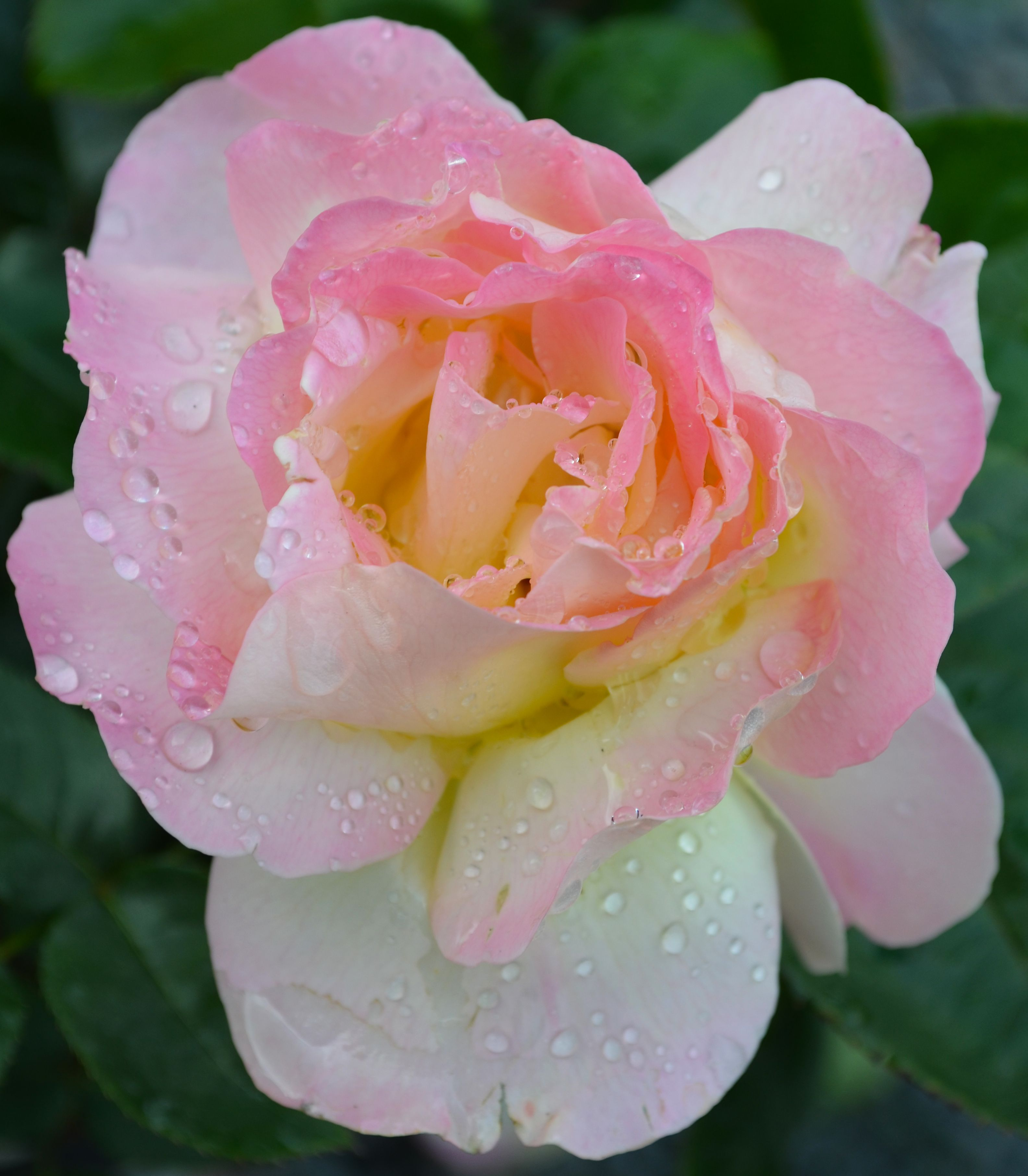 The Peace Rose Is A Subtle Beauty With White Petals Tipped With Pink