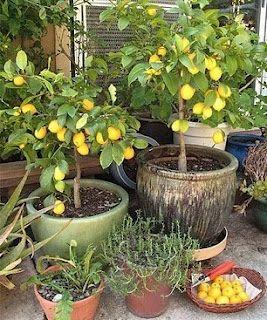lemon tree potted