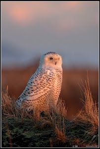 Snowy Owl in Golden Light  Boundary Bay BC  Photographer - Jay Taylor