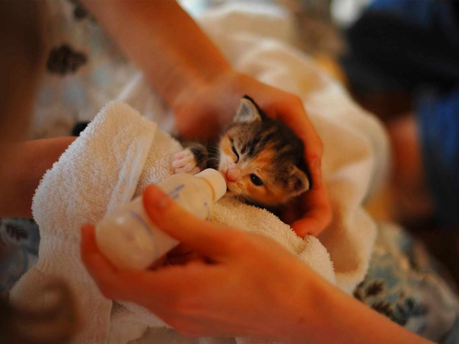 Kitten Milk Replacer Guidance For Newborn Kitten Pet Care For Home Newborn Kittens Kitten Health Baby Kittens