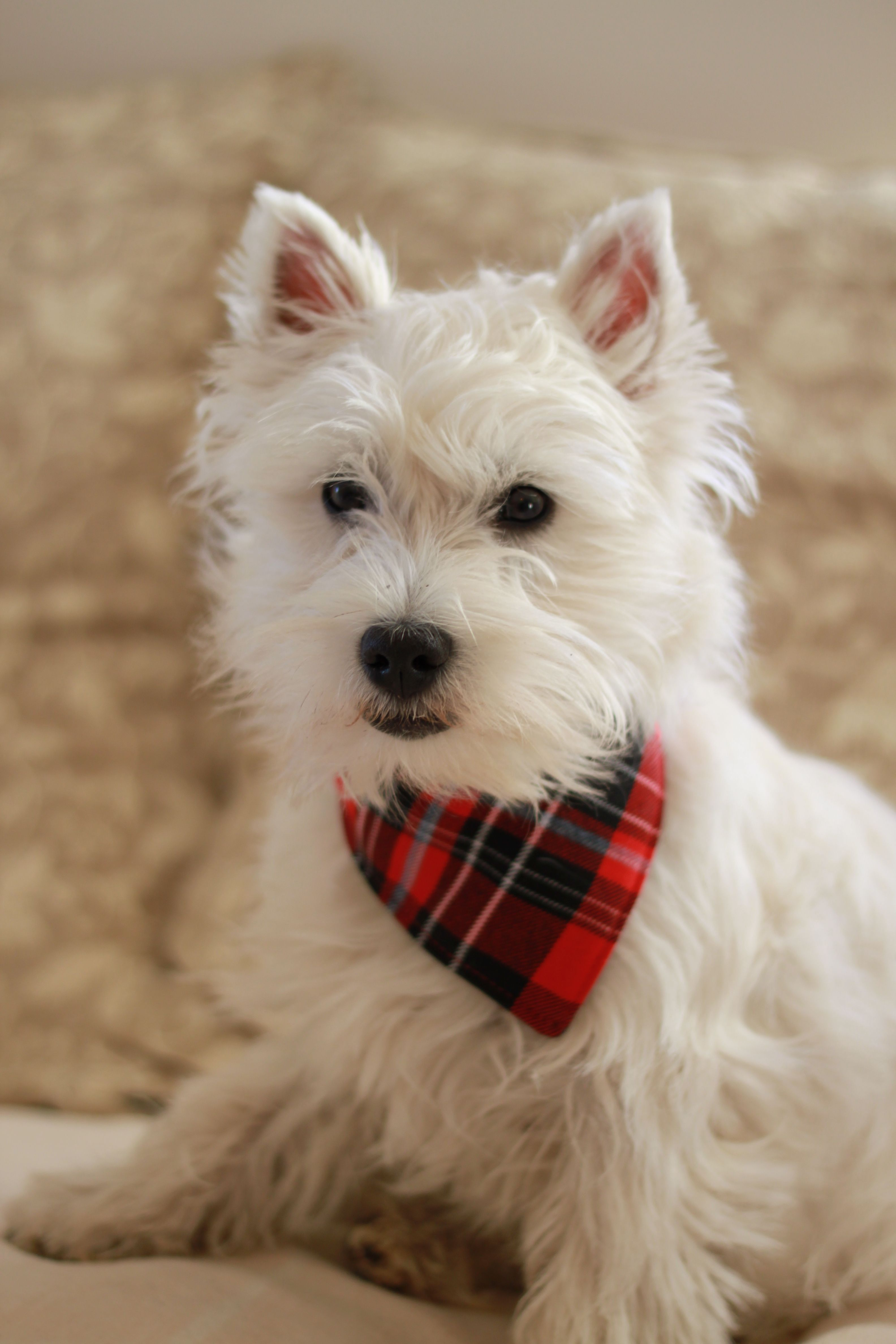 Westie Puppy Romy 6 Mois Westie Chiot Westie Dogs Westie Puppies Westie Terrier