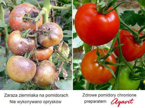 Zaraza Ziemniaka Na Pomidorach Natural Garden Garden Tomato