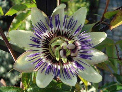 Passiflora Caerulea Blue Passion Flower Added By Inge Leysen Blue Passion Flower Passiflora Caerulea Passion Flower