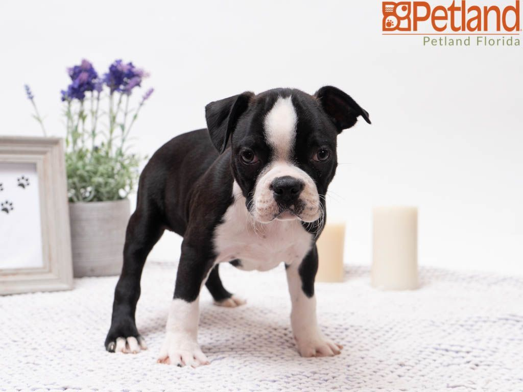 Puppies For Sale With Images Puppy Friends Boston Terrier