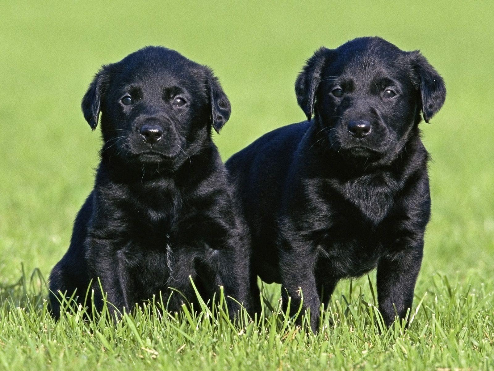 Black labrador puppies labradorpuppies labrador