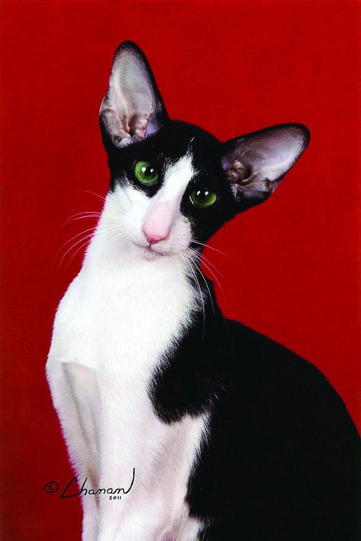 Oriental Shorthair Cat is a breed of domestic cat that is closely