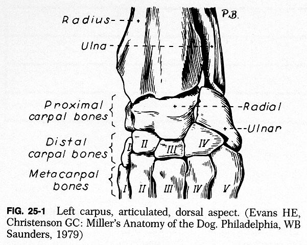 Miller\'s anatomy of a dog   For the Love of Bones   Pinterest   Anatomy