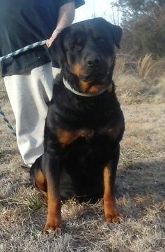 Rottweiler Puppy For Sale In Hackett Ar Adn 23699 On Puppyfinder