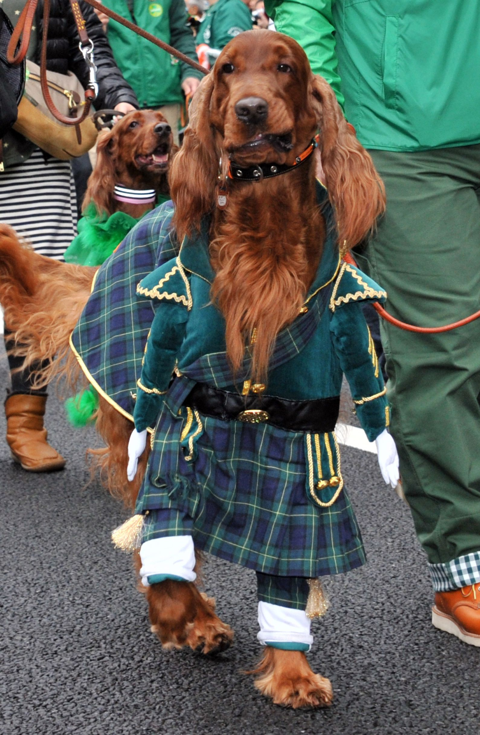 An Irish Setter Wears Green As The Dog A With Images Irish