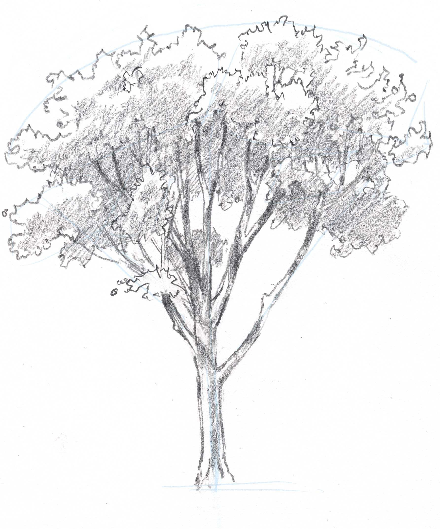 Learn how to draw trees in this simple step by step demonstration of the process of drawing an oak