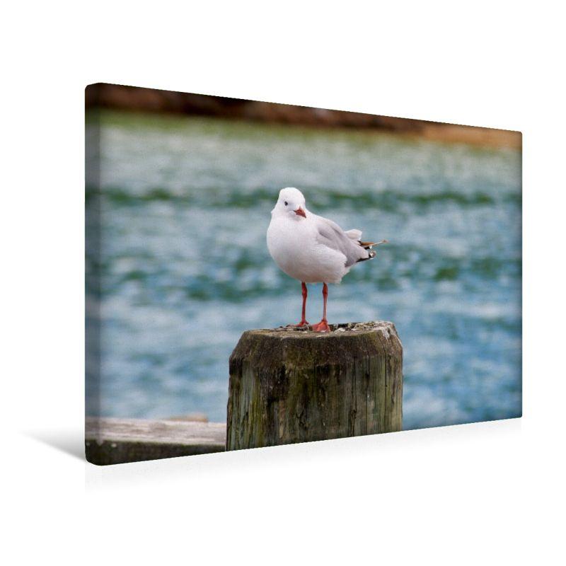 Rotschnabelmöwe (Neuseeland) (Premium Foto-Leinwand 45x30 cm)