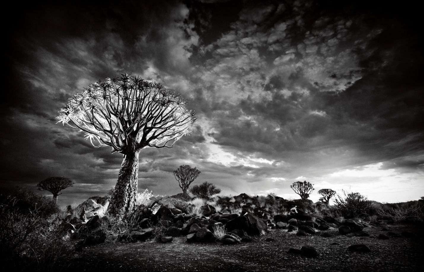 A quiver tree under a cloudy sky, NAMIBIA. Photograph: Heinrich Van Den Berg/Barcroft Media