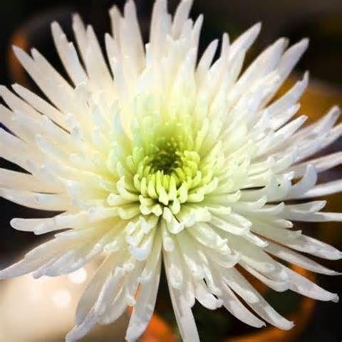 It S My Favorite White Spider Mum Spider Mums Flowers Wedding Flowers