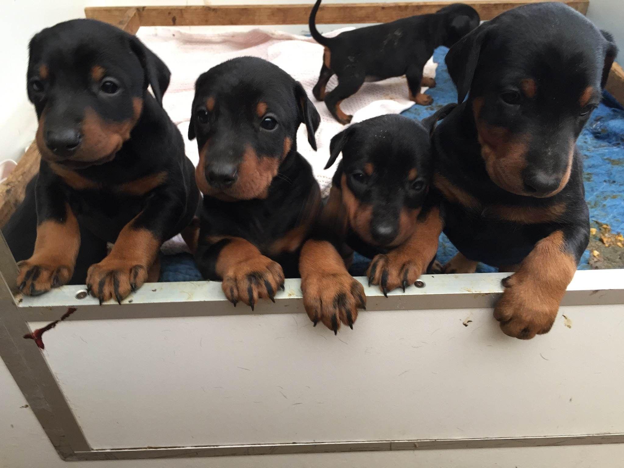 Doberman Puppies Born March 2015 From Prada Dobermans Doberman