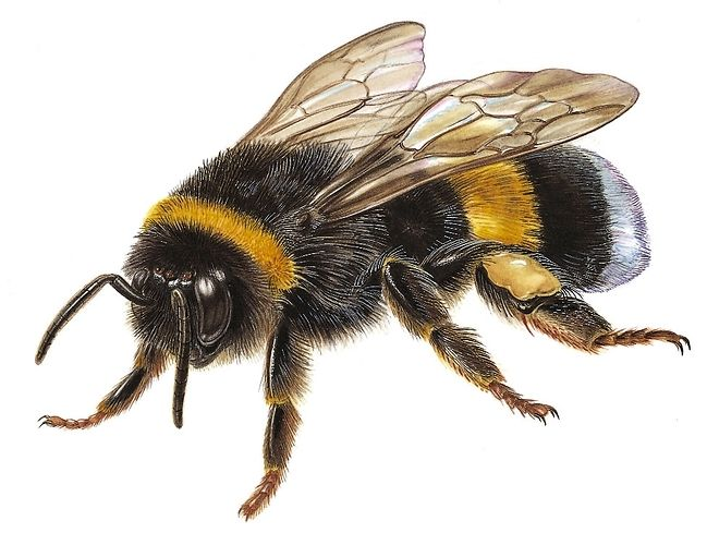 Bumblebee Insect Drawing bumblebee insect - S&#...