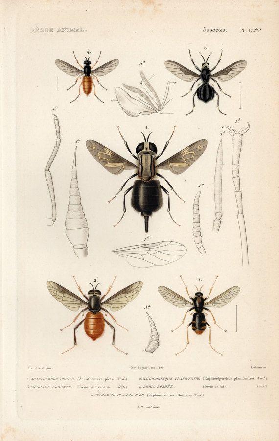 1836 Antique Original Engraving Le Règne Animal Paris Diptera Fly ...