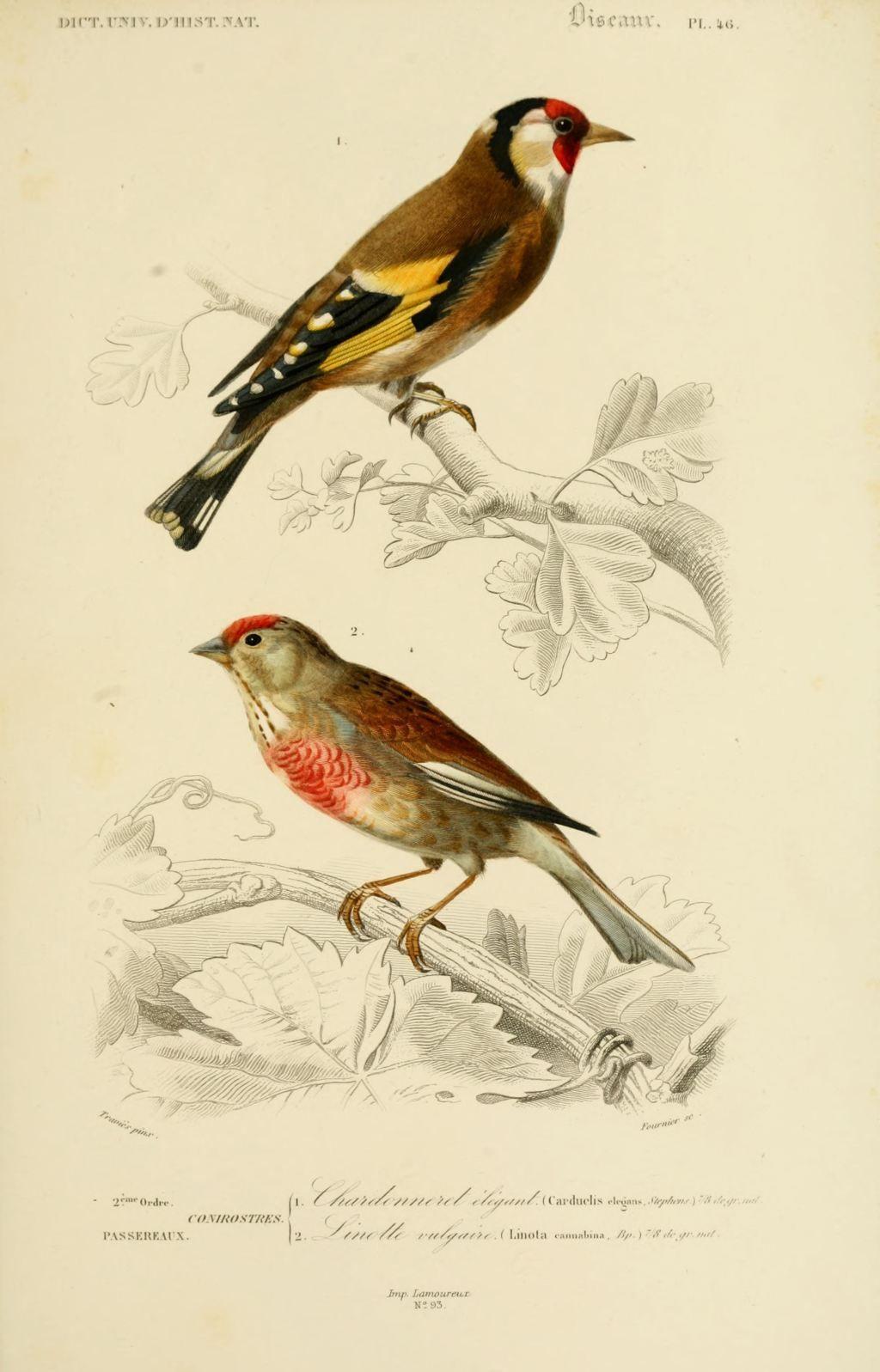 Gravures couleur d 39 oiseaux gravure oiseau 0215 linotte for Oiseau couleur